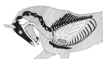 Slika 14: Polshematski prikaz dihalne poti pri pretiranem ukrivljanju (čeljustni kot je 15˚, nosni kot je 128˚). Položaj glave je bil narisan po fotografiji, ki je onečastila platnico poročila FEI. Poglejte krivino v obliki črke U na nivoju grla in jo primerjajte z neovirano dihalno potjo pri konju, ki mu je dovoljeno iztegniti glavo in vrat med hitrim gibanjem (Slika 15a). Ko je konj pretirano ukrivljen, ne more ne pravilno dihati, ne pravilno vzdrževati ravnotežja.   Ključ:  črno = kost ali hrustanec (področja, na katerih je stena dihalne poti dobro podprta); poševno črtkano  = mišice in druga mehka tkiva; vijugasta črta = tisti nepodprti deli dihalne poti, ki so še posebej občutljivi za kolaps zaradi mlahavosti med pretiranim ukrivljanjem; križano črtkano = srce; pikčasto = pljuča.