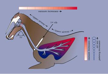 Slika 19. Slika prikazuje, kako vsako oviranje v zgornji dihalni poti - upper airway - (v tem primeru zaradi zmerne ukrivljenosti v tilniku) razlaga, zakaj pljuča 'krvavijo' (to je razvije se pljučni edem) zaradi povečanega pritiska podtlaka, ki nastane v pljučih med težkim vdihom.