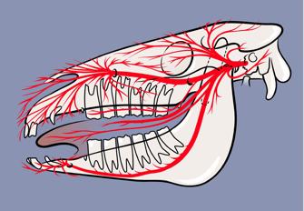 Slika 20: Področje gobca (zunanji del) in ust predstavlja izredno občutljiv tipni receptor. Vsi od številnih znakov sindroma stresanja z glavo so skladni z direktno ali posredno bolečino, ki jo brzda prenaša na eno ali več izmed treh glavnih vej trigeminalnega živca (od spodaj navzgor so to veja v spodnji čeljusti,  veja v zgornji čeljusti in očesna veja).