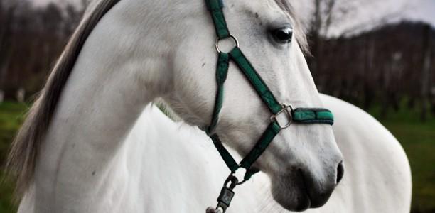 Če bi konji lahko govorili … (3)
