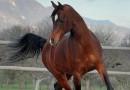 Arabski polnokrvni konj