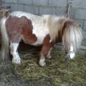 Poni žrebec