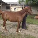Konj, pony