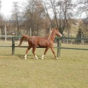 Polnokrvni arabski žrebec